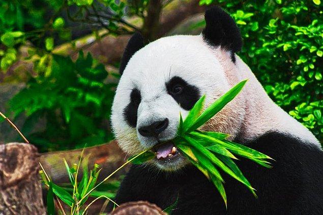 1. Amerikan timsahları, beyaz gergedanlar, gri balinalar ve dev pandalar nüfus artışları nedeniyle son birkaç yılda nesli tükenmekte olan türler listesinden çıkarıldı.