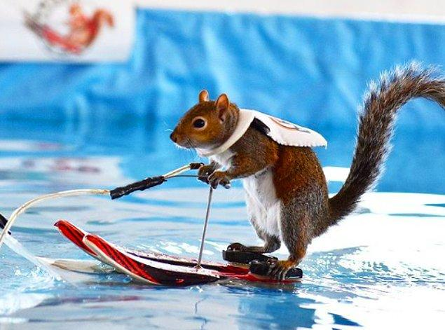 9. Twiggy adında su kayağı yapmayı bilen bir sincap bulunuyor.