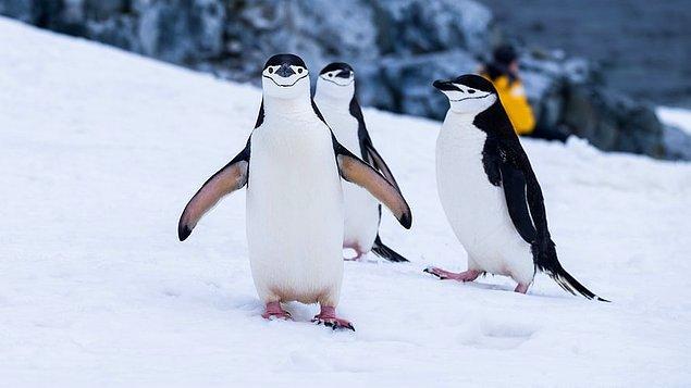 14. Penguenler hayatlarının sonuna kadar tek eşli kalır.