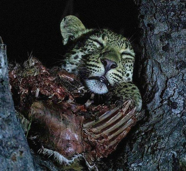 3. Avıyla beraber uyuyan bir leopar: