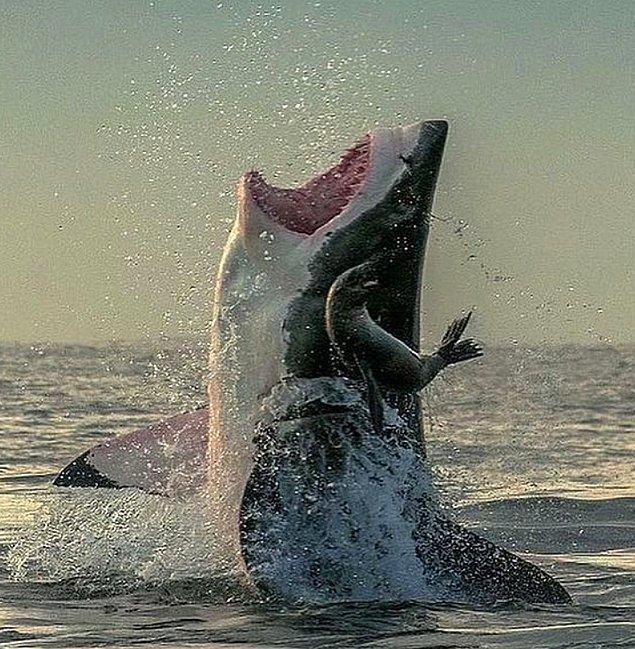 7. Büyük beyaz köpekbalığı avını çok az bir farkla kaçırırken: