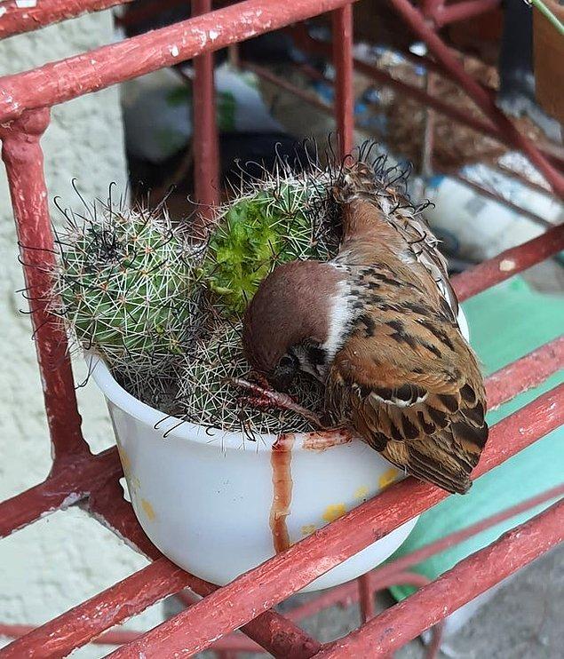 6. Bir kaktüse sıkışıp ölen minik serçe: