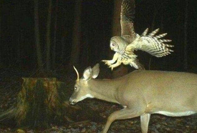 15. Baykuş saldırısına uğrayan geyik: