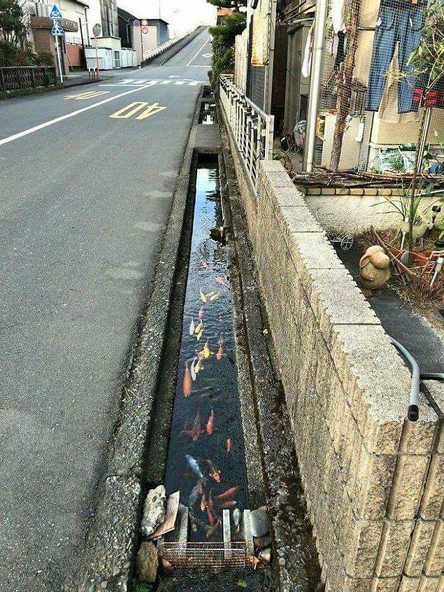3. Shimabara şehrinde sokak drenaj kanallarında, su o kadar temiz ki içinde Koi balıkları yaşıyor.