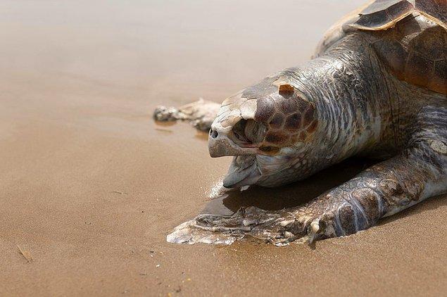 Adalardaki kaplumbağalardaki plastik seviyesi daha yüksek