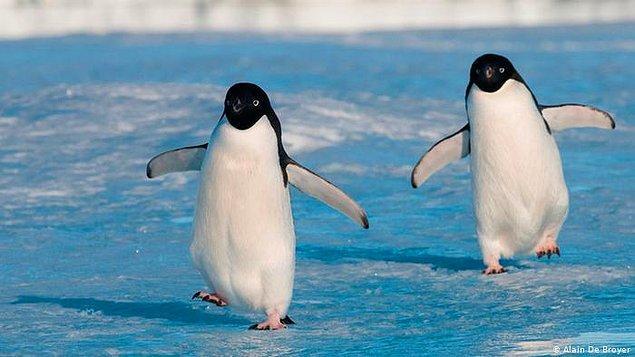 8. Penguenler neden sağa sola yalpalayarak yürürler?