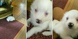 İşitme Engeli Olduğu İçin İnsan Dostunun Eve Geldiğini Fark Etmeyen Köpeğin İçinizi Isıtacak Görüntüleri