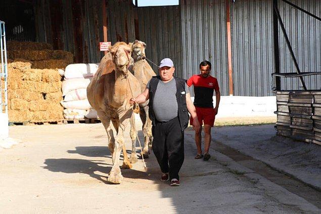 Çiftliklerin önemli gelir kaynakları arasında yer alan deve sütü, litresi 100 liradan alıcı buluyor.