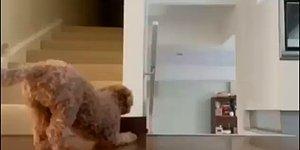 Merdivenlerde Beklediği İnsan Dostunun Geldiğini Fark Edince Korkutmaya Çalışan Köpek