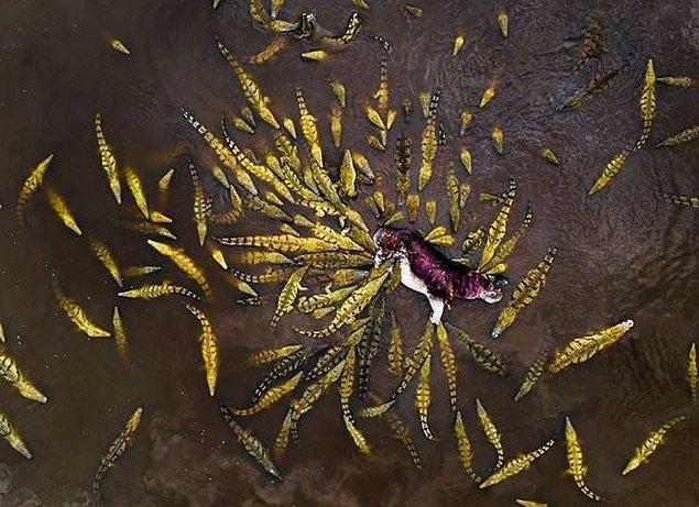 1. Bir timsah sürüsünün saldırısına uğrayan su aygırı: