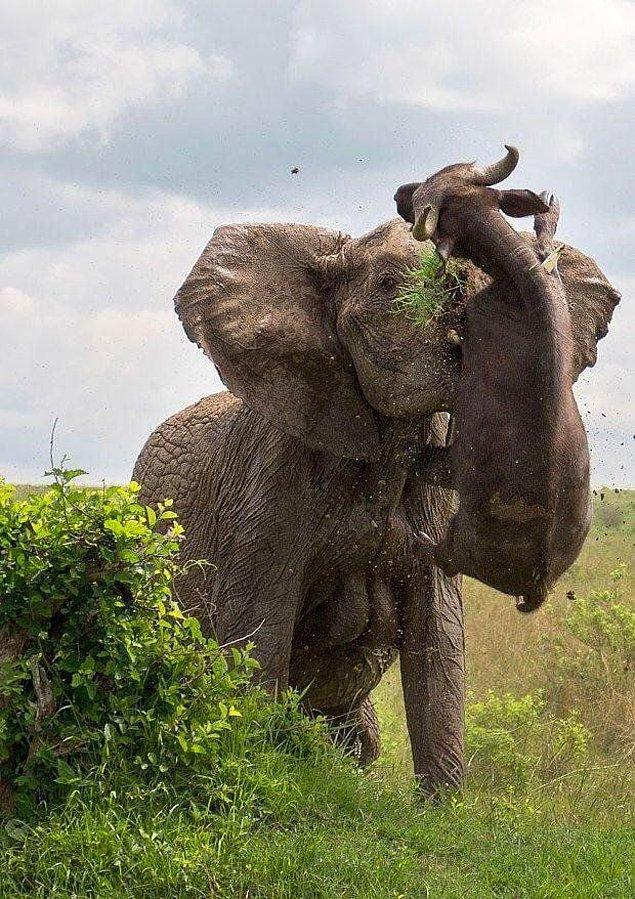 5. Yarım tonluk bizonu hortumuyla havaya kaldıran bir fil: