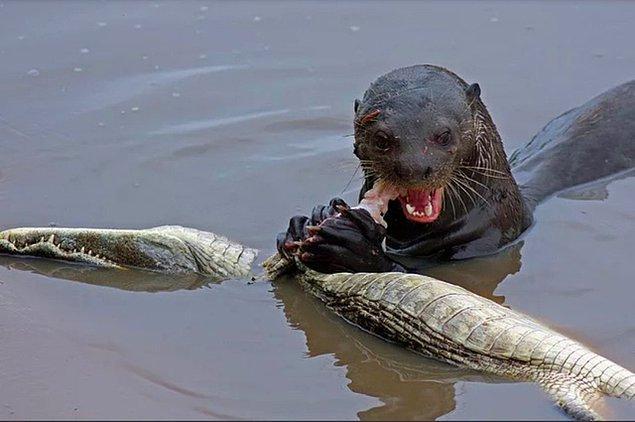 7. Güney Afrika timsahı yiyen dev nehir su samuru: