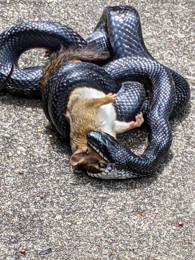 13. Keme yılanının av anı: