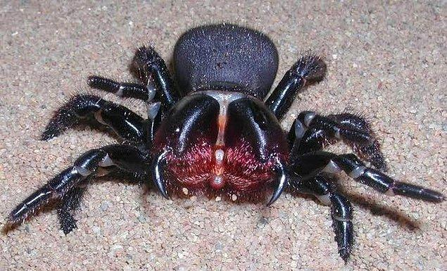 14. Fare örümceği olarak da bilinen Missulena: