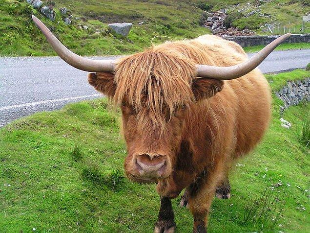 17. İngiltere'de ineklerin sarhoş insanların sorumluluğuna verilmesi yasak.