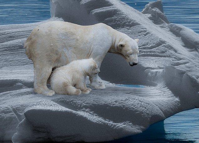 2. Kutup ayılarının solak olduklarına dair bilgiler mevcut. Oysa işin aslı öyle değil.