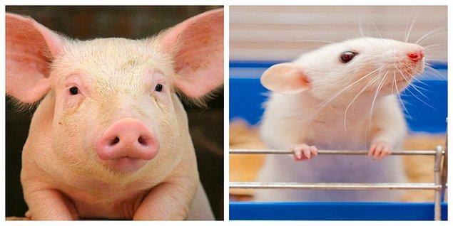 Merakları konuyla ilgili daha kapsamlı deneyleri beraberinde getirmiş. Bir fare ve domuzu deneysel solunum yetmezliği yöntemiyle havasız bırakarak, anüslerinden oksijeni hem gaz formunda hem de bol oksijen içeren bir sıvı olarak rektumlarına vermişler.