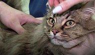 Hayvanlar İçin Geliştirilen Covid-19 Aşısını Olan İlk Hayvan: Kesha