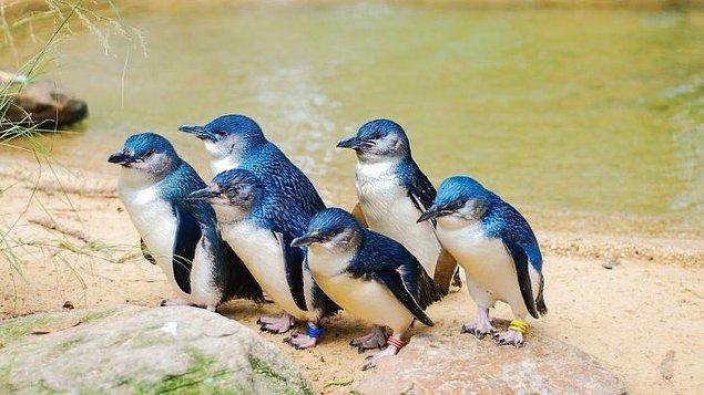 """18. """"Avustralya'da minik penguenler olduğunu bilmiyordum."""""""