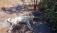 Vicdansızlık Bitmiyor! Demre'de 10 Köpek Zehirlenerek Öldürüldü