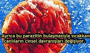 Bulaştığı İnsanın Beyninde Yaşayan ve Zamanla İntihara Sürükleyen Bir Parazit: Toksoplazma