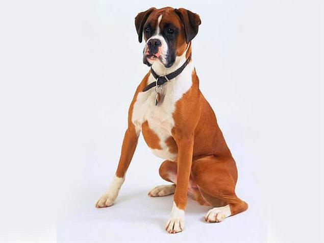 Boxer cinsi köpek de yapay seçilimle yapısı değiştirilen canlılardan.