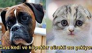 """Sadece İnsanlar Satın Alsın Diye Üretilen """"Cins"""" Kedi ve Köpekler Acı Çekmek İçin Dünyaya Geliyor!"""