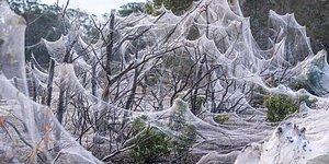 Avustralya'da Sel ve Fare İstilası Olmuştu: Şimdi de Her Yeri Örümcek Ağı Kapladı