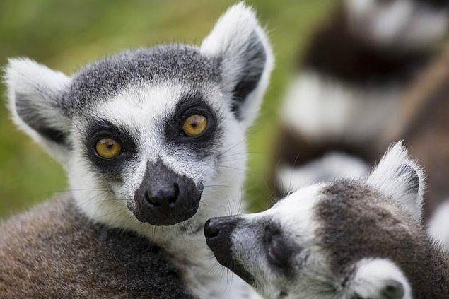 3. Madagaskar yaban hayatının %90'ı endemiktir ve başka hiçbir yerde bulunmaz.