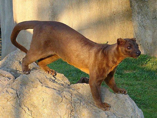 4. Madagaskar filminde gördüğümüz ancak gerçekten Madagaskar'da yaşayan tek hayvanlar lemur ve fossadır.