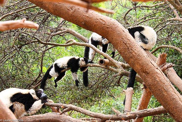 11. Fransızlar Madagaskar'ı ziyaret etmeyi oldukça sever.