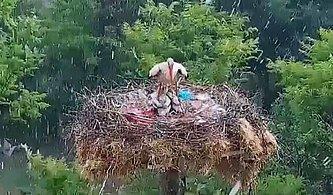 Dolu ve Yağmur Yağışından Yavrularını Korumak İçin Vücudunu Siper Eden Yaren Leylek