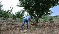 Yetiştirdiği Üründen Para Kazanamayan Çiftçi Kiraz Ağaçlarını Kesti...