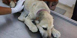 Yine Türkiye Yine Hayvana Şiddet Haberi: İki Köpeğin Kulaklarını Kesip, Bacaklarını Kırdılar...