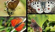 Günümüzü Güzelleştiren İçerik: Görünce Hayran Kalacağınız Uludağ'da Yaşayan 10 Kelebek Türü