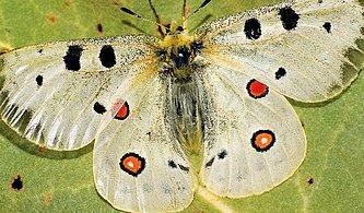 Ülkemizin Endemik Varlığı Apollo Kelebeği'nin Yaşadığı Bölgeyi Bulabilecek misin?