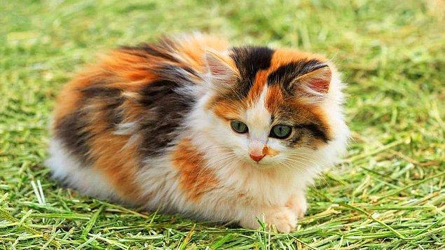 21. Üç renkli kedilerin hepsinin cinsiyeti de dişidir.