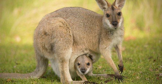 """15. """"Kangurular, stres veya tehlike altındayken hamileliklerini duraklatabilirler."""""""