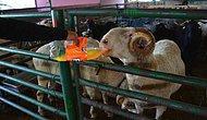 Manisa'da Kurban Bayramı İçin Sırasını Beklerken Günde 2.5 Litre Kola Tüketen Koç Goygoycuların Eline Düştü!