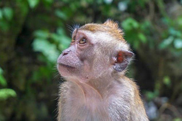 1932 yılından bu yana yalnızca 50 kişide saptanan virüs, bir maymun tarafından ısırılır ya da tırmalanırsanız maymundan geçen doku ve çeşitli sıvılar nedeniyle size bulaşabiliyor.