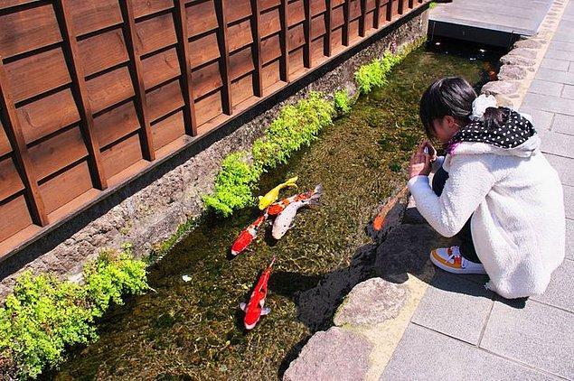 1. Bazı Japon şehirlerinde drenaj kanallarındaki su o kadar temizdir ki, koi balıkları orada mutlu bir şekilde yüzer.