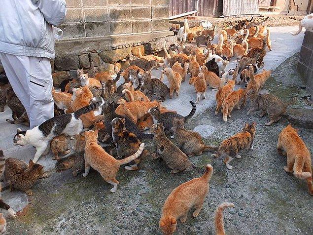 21. Japonya'da kedi adaları bulunur. Bu adalardan bazıları Aoshima, Ainoshima ve Tashirojima'dır.