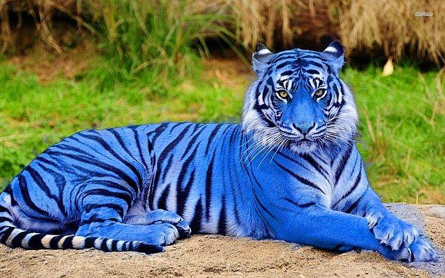 Mavi renkli bir kaplan yok. Şöyle bir örnek dışında mavi kaplanların varlığı tartışılır.