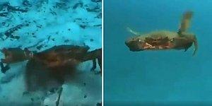 Denizden Korkmak İçin Bir Sebep Daha: Yengeçler Yüzebiliyorlar mı?