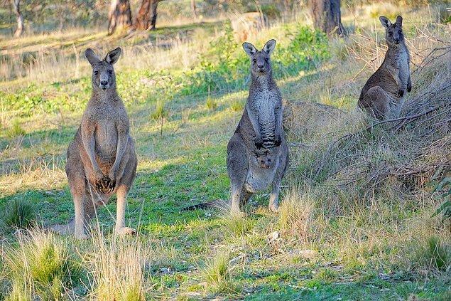 """3. """"Avusturalya'da insanlar okula giderken kangurulara binmiyor!"""""""