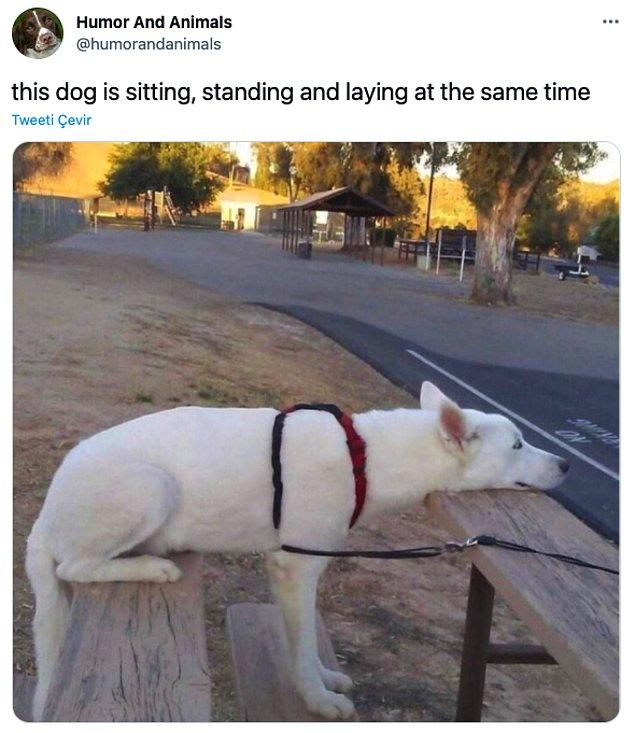 """11. """"Bu köpek aynı anda hem oturuyor, hem dikiliyor hem de yatıyor."""""""