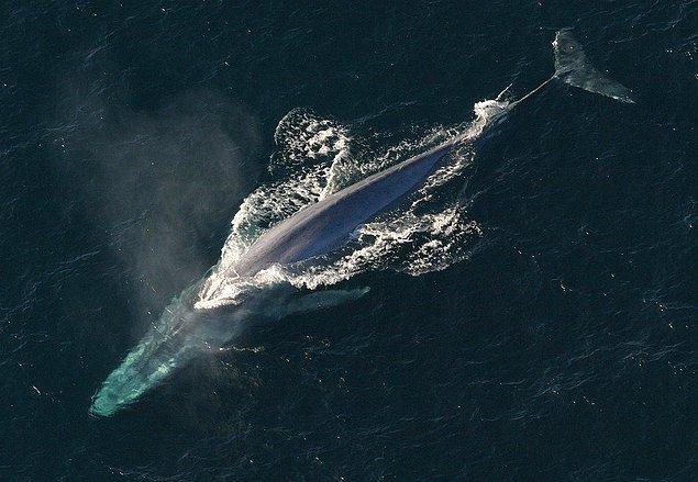 Öncelikle balinaların memeli hayvanlar olduğunu bilsek de suda yaşadıkları için birçok insanın kafasında balık türlerine daha yakın oldukları algısı yer alıyor.