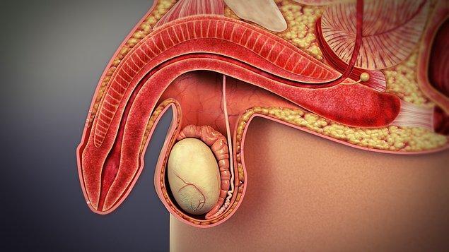 Araştırma ekibi, aynı zamanda koronavirüsün penis üzerinde etkisi olduğunu keşfetti.
