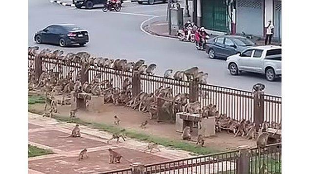 Bu durumla ilgili konuşan veteriner Supakarn Kaewchot 'Maymunlar binalara girip, kasabada yaşayan insanları evlerini terk etmeye zorluyorlar.' diyor.