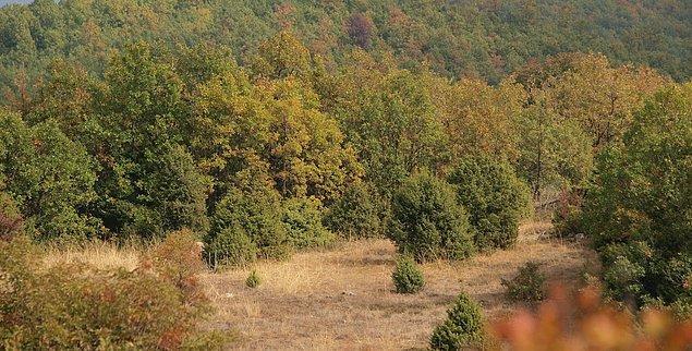 Ülkemizde de yaygın olan Akdeniz ormanlarının büyük bir kısmı döngüleri için yanmaya mecbur.